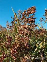 Объявление Семена костреца, суданской травы, люцерны в Ростовской области