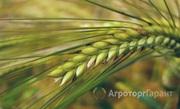 Объявление Семена ярового ячменя Грис ЭС/РС1 в Ростовской области