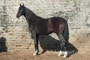Объявление Продажа лошади в Санкт-Петербурге и области
