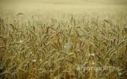 Объявление Пшеница мягкая 3 класса в Алтайском крае