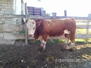Объявление СИММЕНТАЛЬСКАЯ  порода быков в Воронежской области