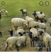 Объявление Куплю овец, ягнят, телок, быков в Алтайском крае
