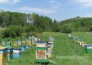 Объявление Продаю пчел средне-русской породы в Алтайском крае