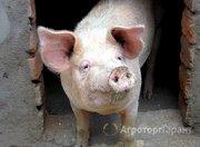 Объявление Продаем свиней живым весом в Воронежской области