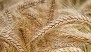 Объявление Семена ярового ячменя сорт Приазовский 9 в Ростовской области
