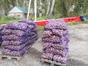 Объявление Картофель сорт Розара калибр 5+ крупный и мелкий опт от производителя НСО село Быково в Новосибирской области