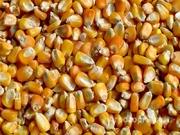 Объявление Кукуруза кормовая в Смоленской области