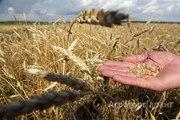 Объявление Пшеница озимая с хозяйства в Алтайском крае