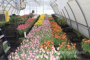 Объявление Тюльпаны к 8 Марта в Белгородской области