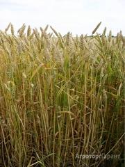 Объявление Семена озимой мягкой пшеницы сорт Стан ЭС/РС1 в Ростовской области