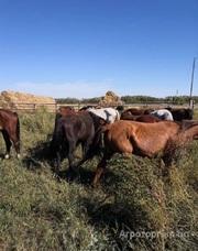 Объявление Продам лошадей 55 голов только оптом в Алтайском крае