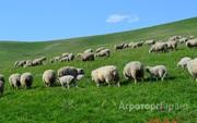 Объявление Овцы. Бараны. Молодняк в Алтайском крае