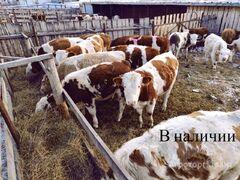Объявление Продажа крупного рогатого скота (бычки) в Республике Башкортостан