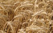 Объявление Куплю пшеницу от 100 тонн в Краснодарском крае