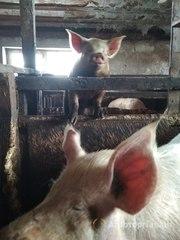 Объявление Распродаю свиней породы крупная белая в Москве и Московской области