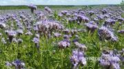 Объявление Семена мног. трав-ежа,фацелия,клевер,кострец в Воронежской области