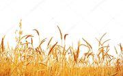 Объявление Семена озимой пшеницы Безостая 100, Граф, Жива, Тимирязевка-150 и др. в Краснодарском крае