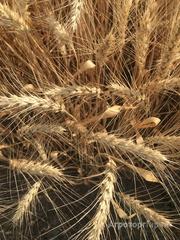 Объявление Семена озимой мягкой пшеницы сорт Лидия ЭС в Ростовской области