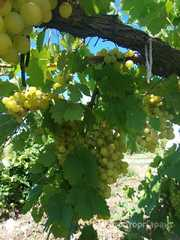 Объявление Крымский виноград оптом напрямую с сада в Республике Крым