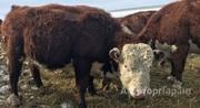 Объявление Телочки герефорд чистопородные 5-6 мес в Челябинской области