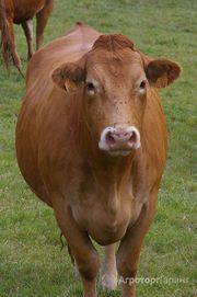 Объявление Срочно продам племенных дойных коров в Республике Башкортостан