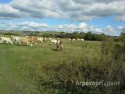 Объявление Коровы на убой 450 - 600 кг в Ивановской области