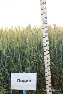 Объявление Семена озимой пшеницы Лидия ЭС в Ростовской области