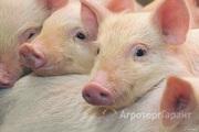 Продаю Поросята, свиньи в Алтайском крае