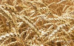Объявление Семена озимой пшеницы ЭС/РС1/РС2 в Ростовской области