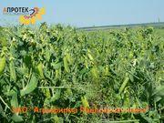 Объявление Семена гороха посевного в Воронежской области