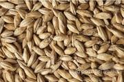 Объявление Семена Ячменя в Алтайском крае