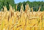 Объявление Семена озимой пшеницы сорт Баграт  ЭС/РС1 в Ростовской области
