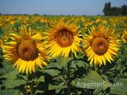 Объявление Продаем подсолнечник масличностью более 50, объем 5000 тонн в Воронежской области