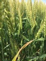 Объявление Семена озимой мягкой пшеницы сорт Станичная ЭС/РС1/РС2 в Ростовской области