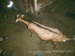 Объявление Продам стадо коз в Смоленской области