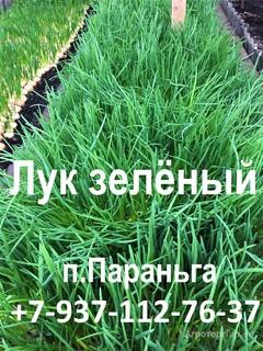 Объявление лук перо, лук зелёный, лук зелень продам в Республике Марий Эл