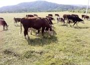 Объявление Продам стадо коровы, телята в Алтайском крае