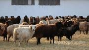 Объявление Овцы эдильбаевской породы в Алтайском крае