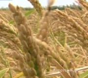 Объявление Семена риса сорт Кубояр, Южанин, Командор, Боярин ЭС. в Ростовской области