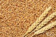 Объявление Пшеница 3 класса, 25000 тонн на ЭКСПОРТ в Краснодарском крае