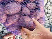 Объявление Картофель оптом Ред Скарлет, Гала 5+ от КФХ от 6 руб/кг в Свердловской области