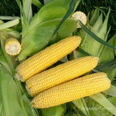 Объявление Кукуруза (початок и семена) в Москве и Московской области