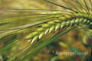 Объявление Семена ярового ячменя Ратник РС1 в Ростовской области