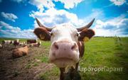 Объявление Продажа крупного рогатого скота с доставкой по России и зарубежью. в Свердловской области
