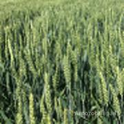 Объявление Семена озимой пшеницы Стан, Гром, Табор, Таня, Безостая 100, Агат Донской, Капитан, Находка в Ростовской области