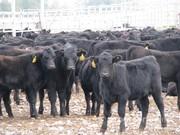 Объявление Продам бычков породы абердин-ангусс в Республике Татарстан