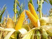 Объявление Семена кукурузы (высокоурожайные гибриды) в Краснодарском крае