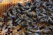 Объявление Пчелопакеты с таежной пасеки в Алтайском крае