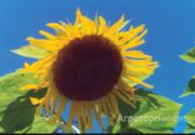Объявление Семена подсолнечника сорт Казачий РС1 в Ростовской области