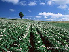 Объявление Вырастим ВАШ картофель на нашем поле в Новосибирской области